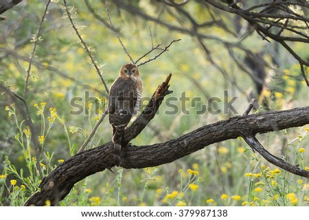 Juvenile Gabar Goshawk (Micronisus gabar) perched in thick woods, Namibia - stock photo