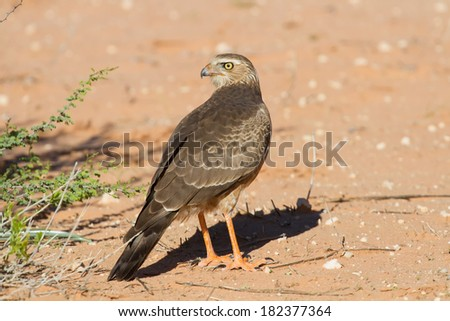 Juvenile Gabar Goshawk standing on the dry red Kalahari sand searching for prey - stock photo