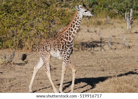 Juvenile giraffe, South Luangwa National Park, Zambia