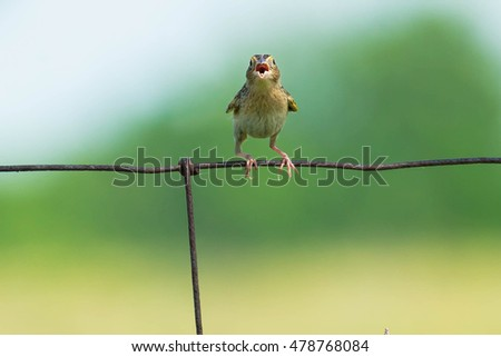 Juvenile Grasshopper Sparrow perched on page wire fence begging for food.