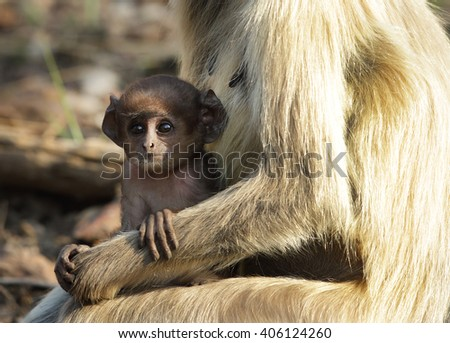 Juvenile gray langur in the arms of mother