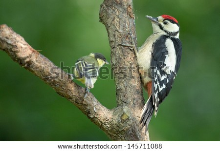 Juvenile Great Spotted Woodpecker and little great tit - stock photo