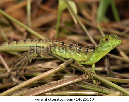 Juvenile Green Basilisk - stock photo