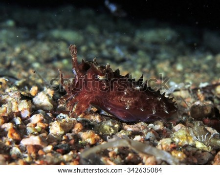 Juvenile hooded cuttlefish over sand