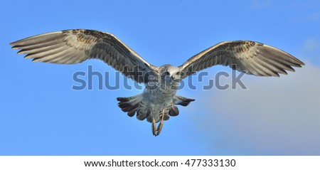 Juvenile Kelp gull  in flight. Larus dominicanus also known as the Dominican gull and Black Backed Kelp Gull. Natural blue sky background. False Bay, South Africa