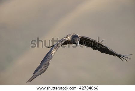 Juvenile Lammergeyer or Bearded Vulture (Gypaetus barbatus) in flight looking for prey in South Africa - stock photo