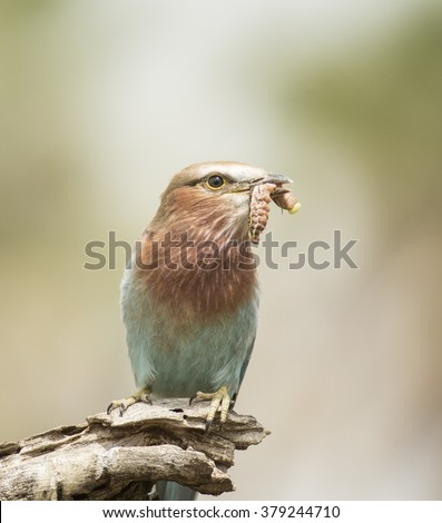 Juvenile lilac breasted roller (Coracias caudatus ) with insect - stock photo