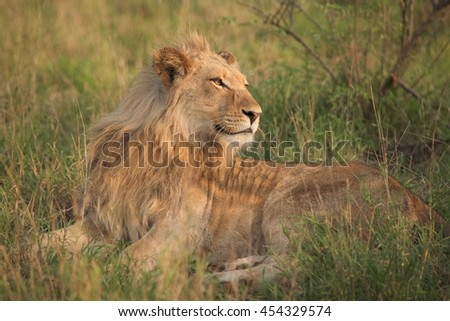 Juvenile lion in the Kruger National Park, South Africa. - stock photo
