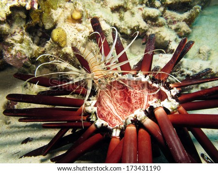 Juvenile lionfish (Pterois volitans) looking for food in a dead slate-pencil urchin - stock photo