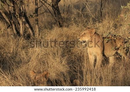 Juvenile Lions - stock photo