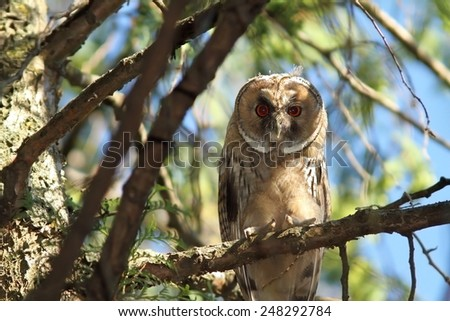 juvenile long eared owl standing on a branch ( Asio otus ) - stock photo