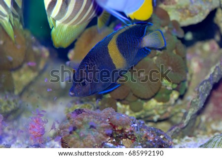 Juvenile Maculosus Angelfish, also called the Yellowbar, Yellow-band, Map, or Blue Moon Angelfish, Pomacanthus maculosus