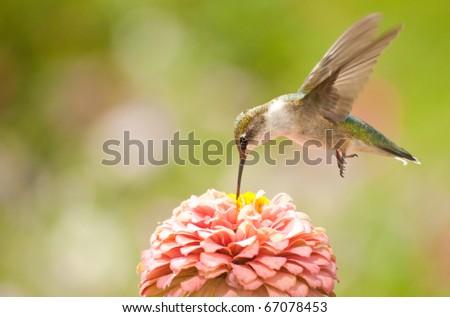 Juvenile male Hummingbird hovering, feeding on a pink flower - stock photo