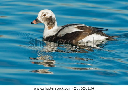 Juvenile male Long-tailed Duck swimming in the open water.