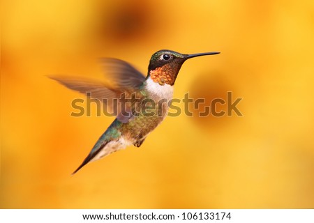 Juvenile Male Ruby-throated Hummingbird (archilochus colubris) in flight with a colorful background - stock photo