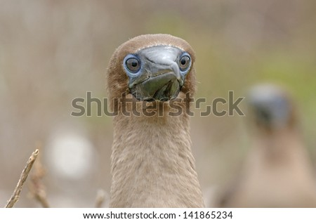 Juvenile Nazca Booby, Galapagos Islands - stock photo