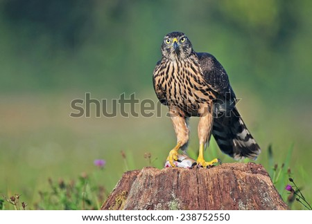 Juvenile northern goshawk standing on a tree stump with a mouse in it's claws - stock photo