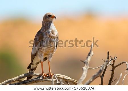 Juvenile pale chanting goshawk perched on branch, Kalahari, South Africa - stock photo