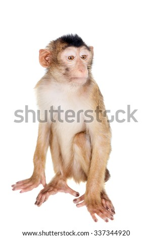 Juvenile Pig-tailed Macaque, Macaca nemestrina, isolated on white
