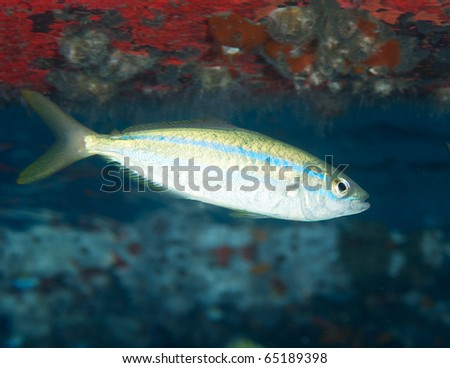 Juvenile Rainbow Runner-Elagatis bipinnulata, picture taken in Palm Beach County Florida. - stock photo