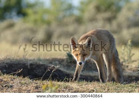 Juvenile red fox - stock photo