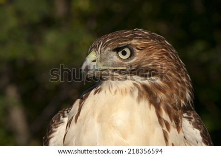 Juvenile Red Tail Hawk - stock photo