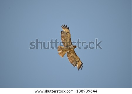 juvenile red-tailed hawk - stock photo