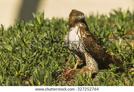 Juvenile red tailed hawk with squirrel prey on ground - stock photo