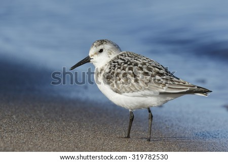 Juvenile Sanderling (Calidris alba) on a Lake Huron Beach in September - Pinery Provincial Park, Ontario, Canada