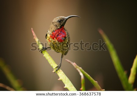 Juvenile Scarlet-chested Sunbird Chalcomitra senegalensis, colorful nectar feeding african bird, perched on stem. Dark brown abstract background. First bright red plumage on chest. KwaZulu Natal, SA.  - stock photo