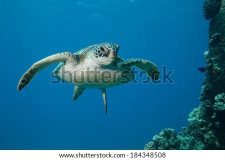 Juvenile Sea Turtle with White Underside - stock photo
