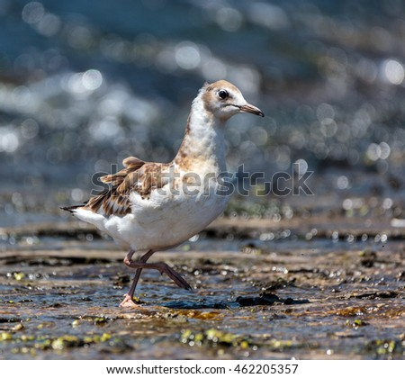 Juvenile seagull on a lake searching for food