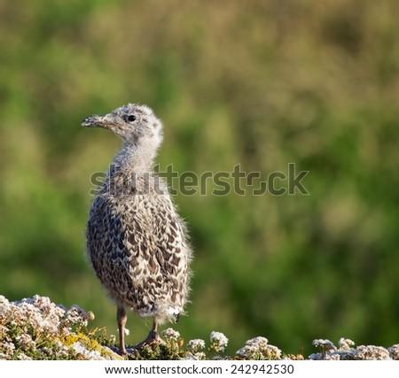 Juvenile Seagull spotted off Ireland's Eye, Dublin  - stock photo
