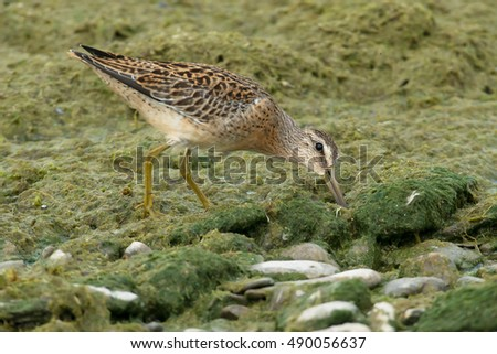 Juvenile Short-billed Dowitcher probing the plant matte on the beach looking for a meal.