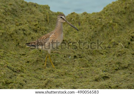 Juvenile Short-billed Dowitcher walking in the plant matte on the beach.