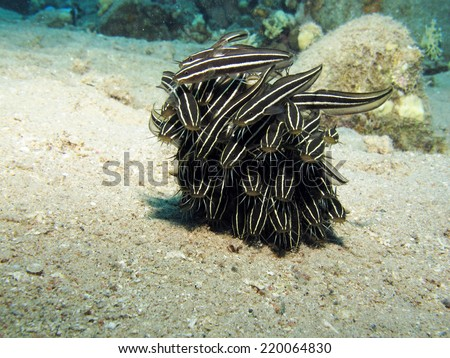 Juvenile striped eel catfish (Plotosus lineatus) schooling over sand  - stock photo