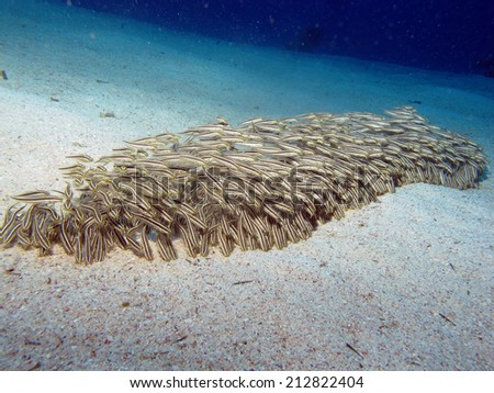 Juvenile striped eel catfish school - stock photo