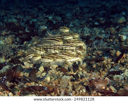 Juvenile striped eel catfish schooling over rubble - stock photo