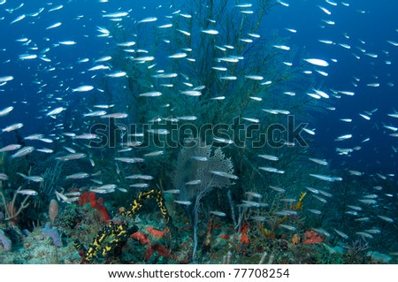 Juvenile Striped Grunts over a reef in south east Florida. - stock photo