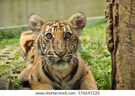 Juvenile Tiger Close up