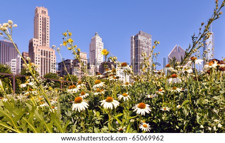 Juxtaposition of urban and nature.  A garden of daisies against a background of the Chicago city skyline.