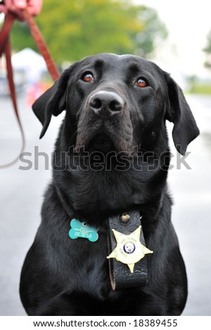 K9 police dog wearing badge - stock photo