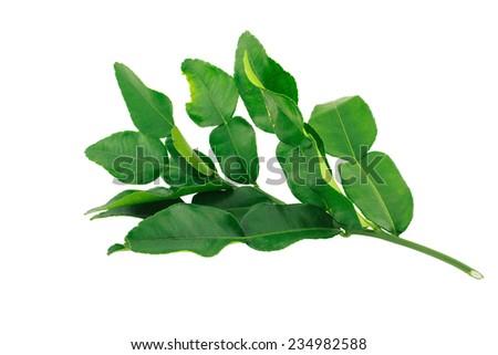 kaffir leaves isolate on white background - stock photo