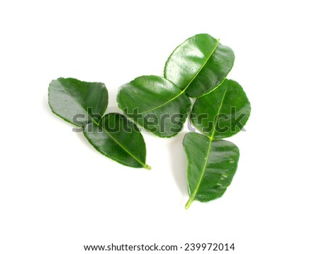 Kaffir lime is a fruit native to tropical Asia. - stock photo