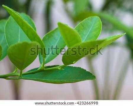 kaffir lime leaves ,Bergamot on Tree ( Focus leaves the bottom) - stock photo
