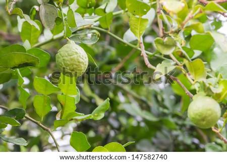 kaffir lime on the tree - Kaffir Lime Tree