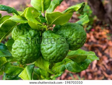Kaffir Lime or Bergamot fruit on tree - stock photo