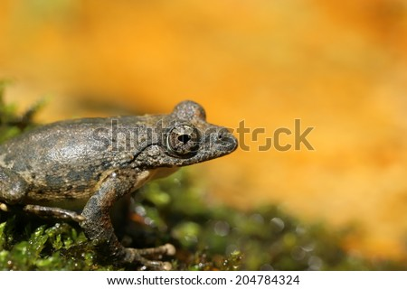 Kajika Frog - endemic species of Japan