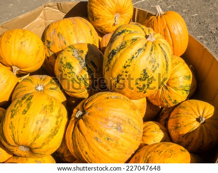 Kakai pumpkin has a very unusual coloring, and an even more unusual treat inside. It is orange in color with dark green ribs. The shell is quite hard and fairly smooth. - stock photo
