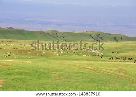 KAKHETI - GEORGIA, CIRCA MAY 2013: A flock of sheep grazing on green meadows of Kakheti in Georgia, circa May 2013. - stock photo